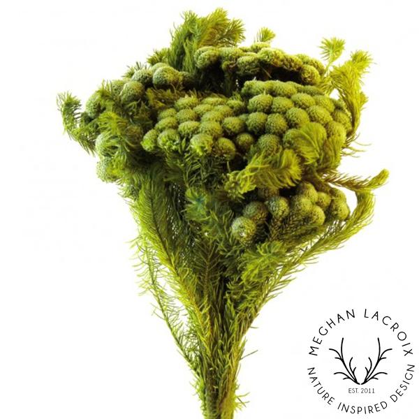 Brunia Albiflora - Chartreuse -