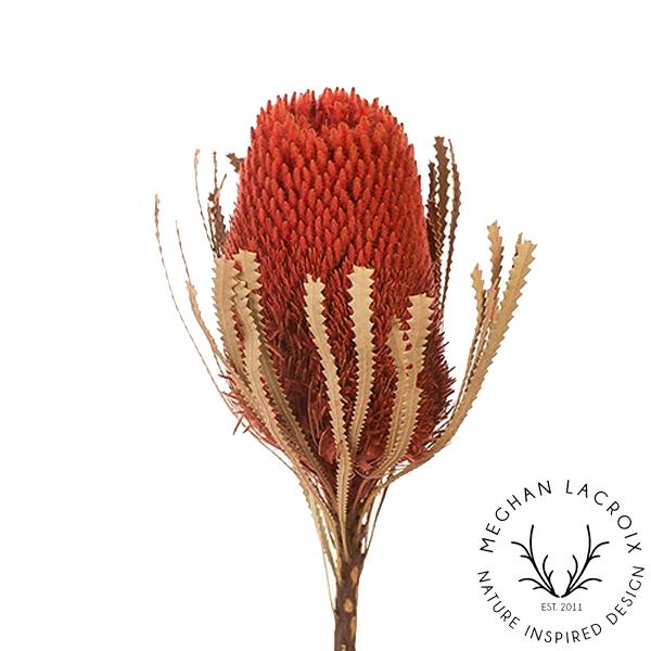 Banksia Hookerana - Burnt Orange -