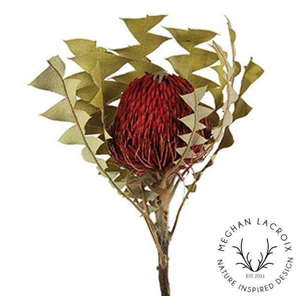 Banksia Baxteri - Red -