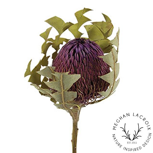 Banksia Baxteri - Purple -