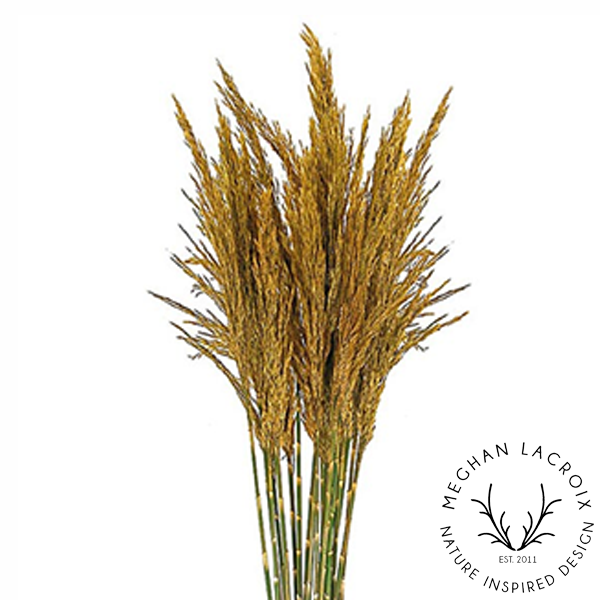Plume Reed Grass - Aspen Gold -