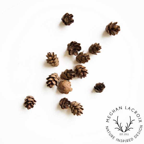 Hemlock Cones -
