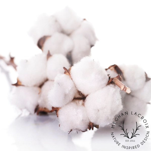 Raw Cotton Bolls -