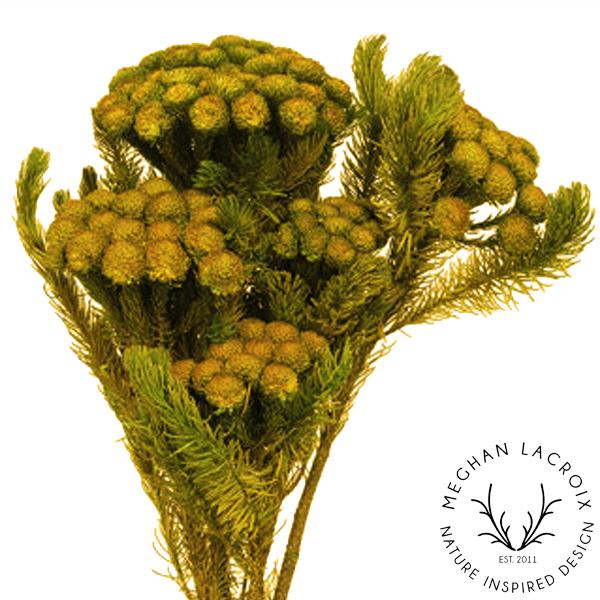 Brunia Albiflora - Yellow -