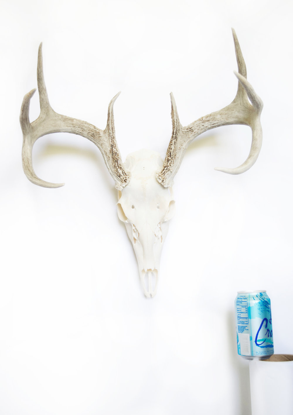 LARGE DEER typically have curly antlers with points extending out on the same side and in the same direction on each antler. Some can be wider-set with a more square shape (seen here) or taller, with more of a rectangular shape. Overall height and width of the skull and antlers together can range between 17 to 20 inches.As with any of the deer, if the nasal bone is in tact, it can be removed upon request. Stains can be added to the antlers to enhance the color.  Prices start at $1,000  (DS013 pictured)