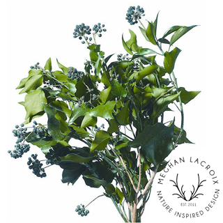 Berried Hedera (French Ivy) -