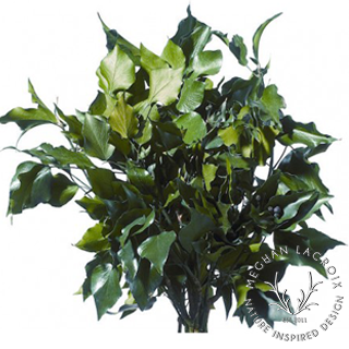Hedera (French Ivy) -