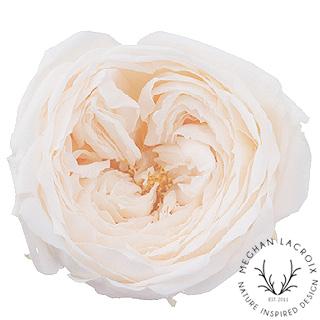 Cream Garden Roses