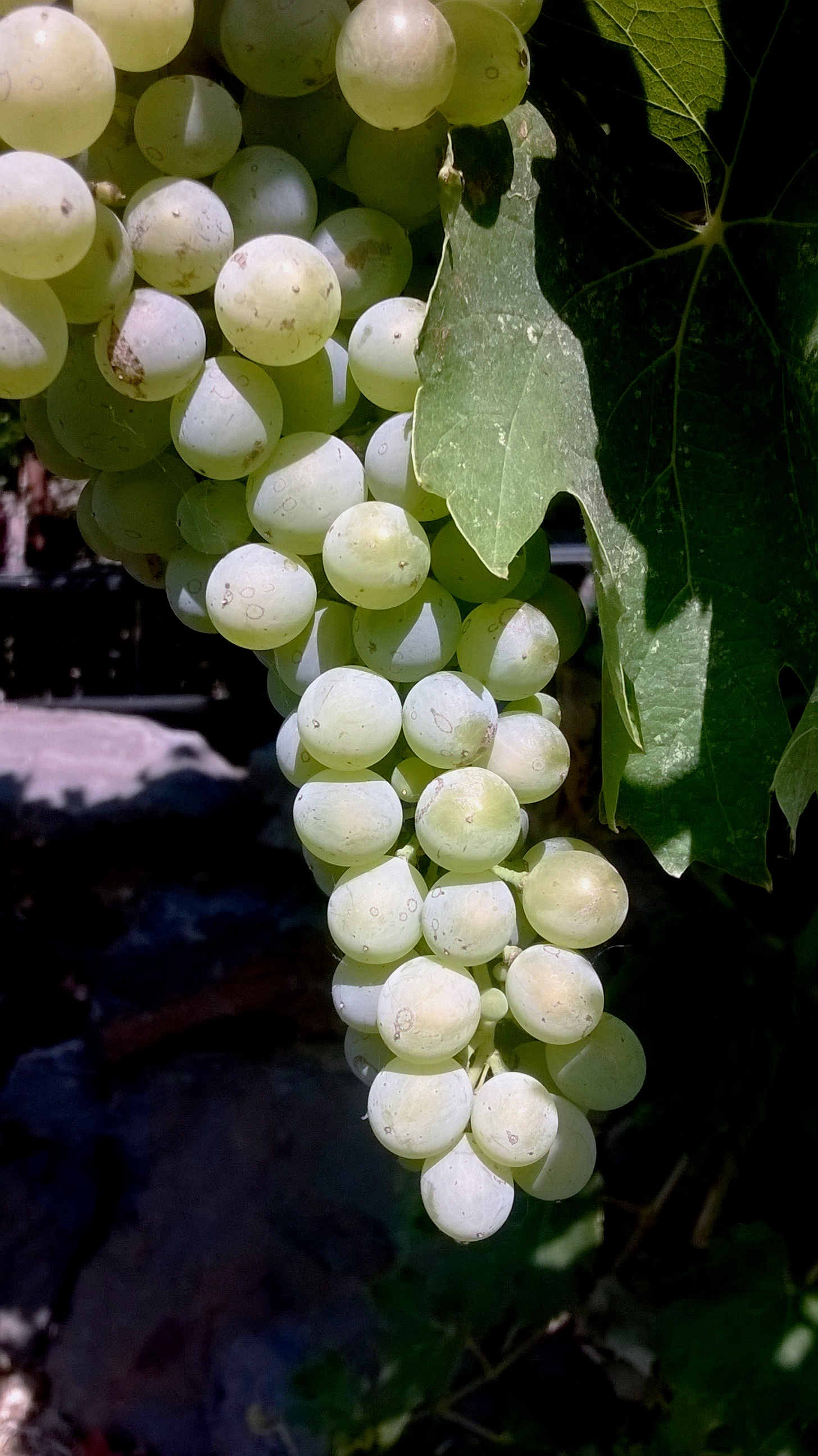 Beautiful grapes fell heavy on the vines all over the property like jewels just waiting to be cut and transformed.