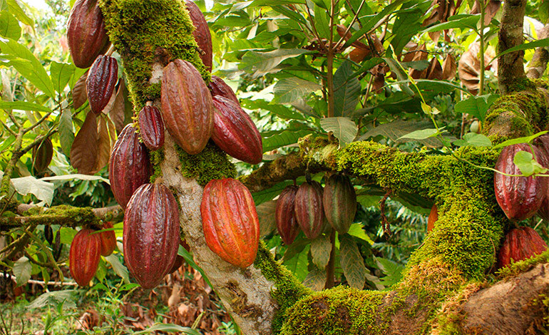 Our Cacao - All of our ingredients are carefully sourced, with the well-being of everyone in the supply chain in mind: from farmer to eater and everyone in between.