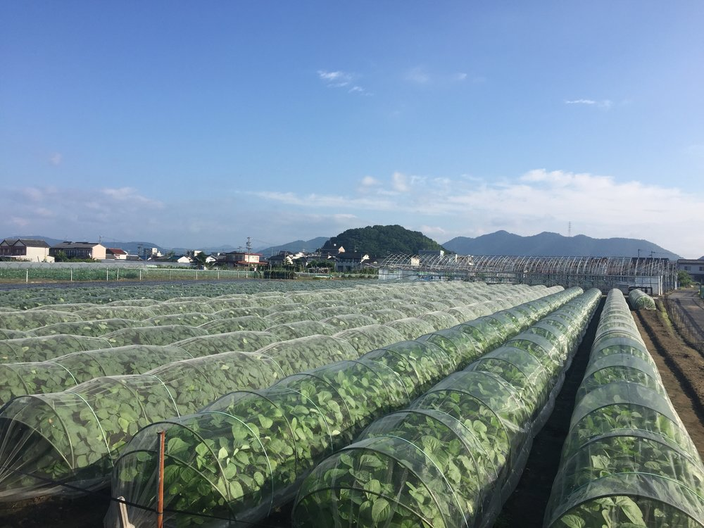 Vegetable fields in the countrysides of Japan.