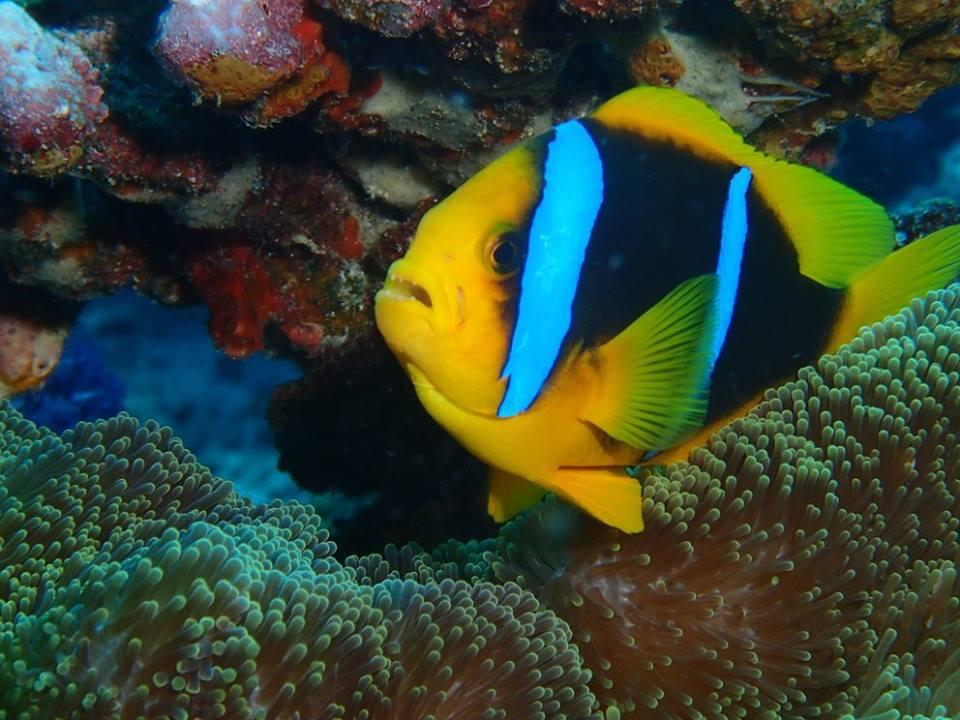 clownfish2 2.jpg