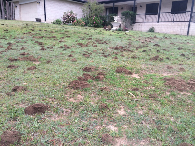 A lawn ruined by Funnel ants