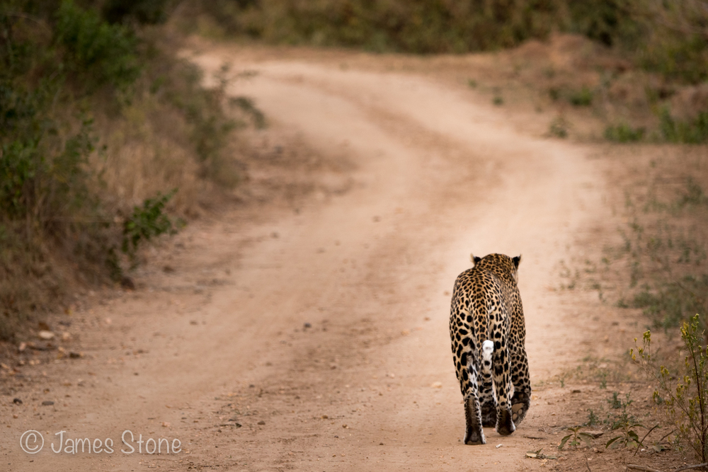 Walking the leopard
