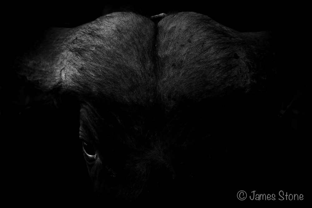 One dark buffalo