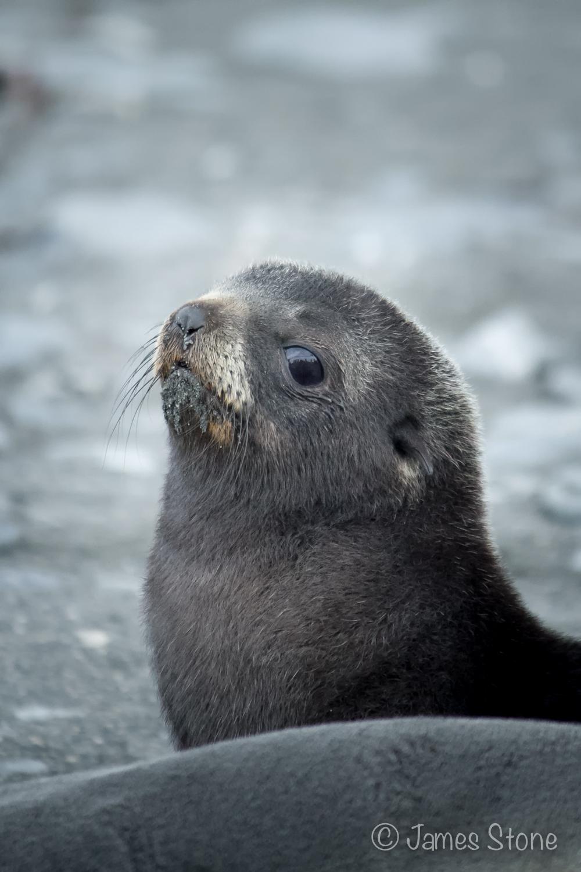 Fur Seal1