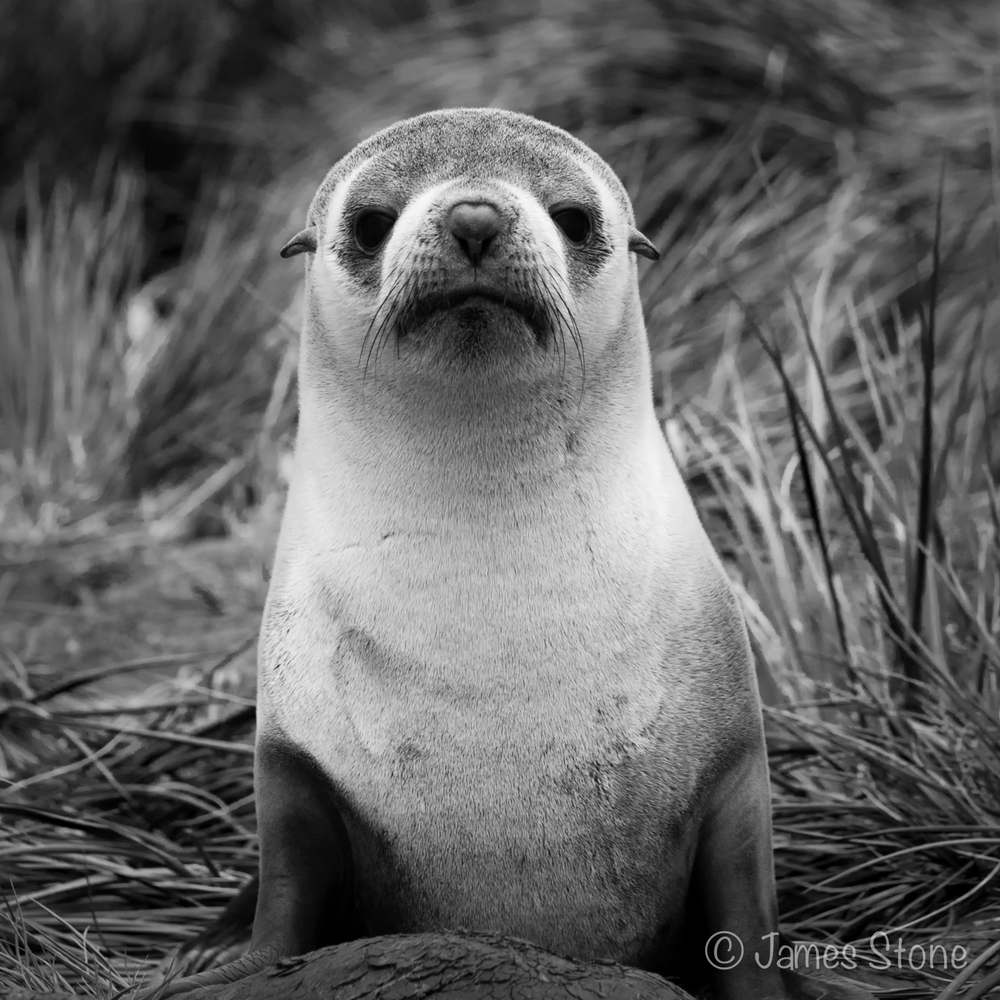 Fur Seal2
