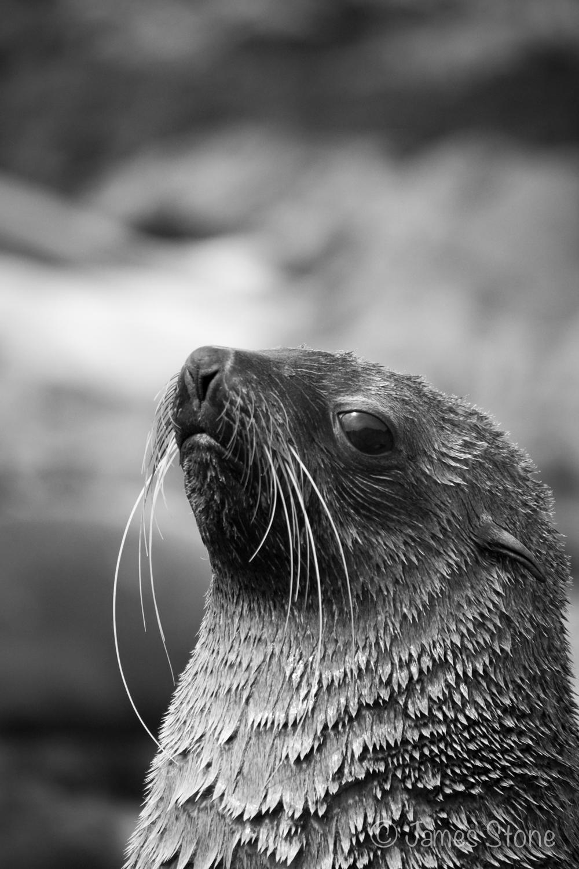 Fur Seal3