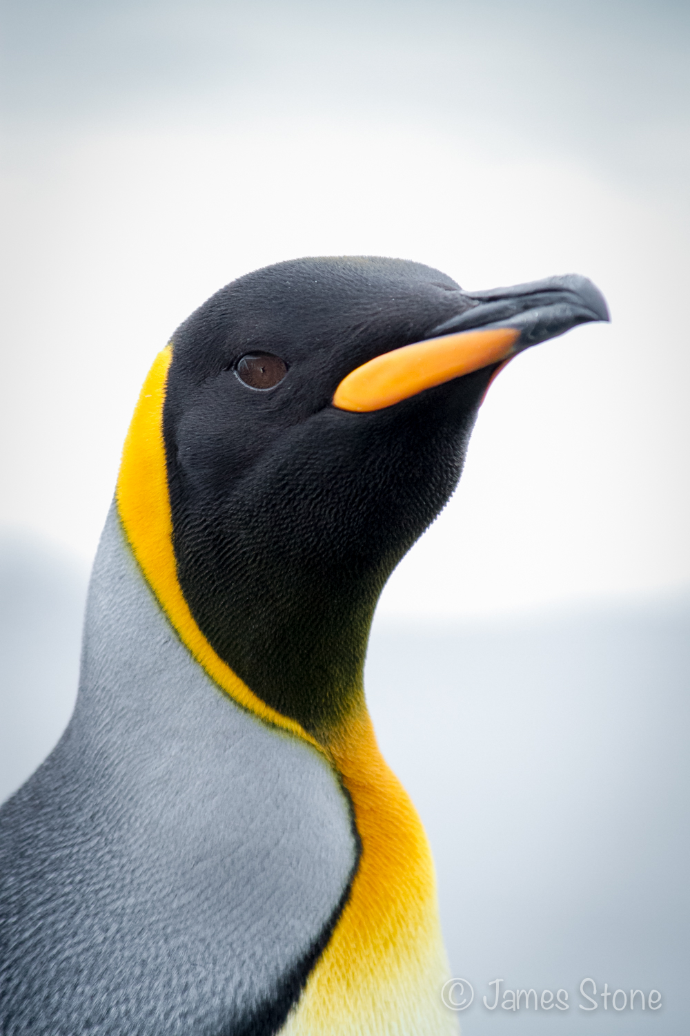King Penguin4