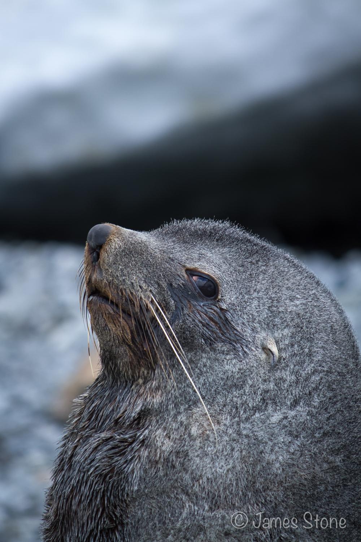 Fur Seal5