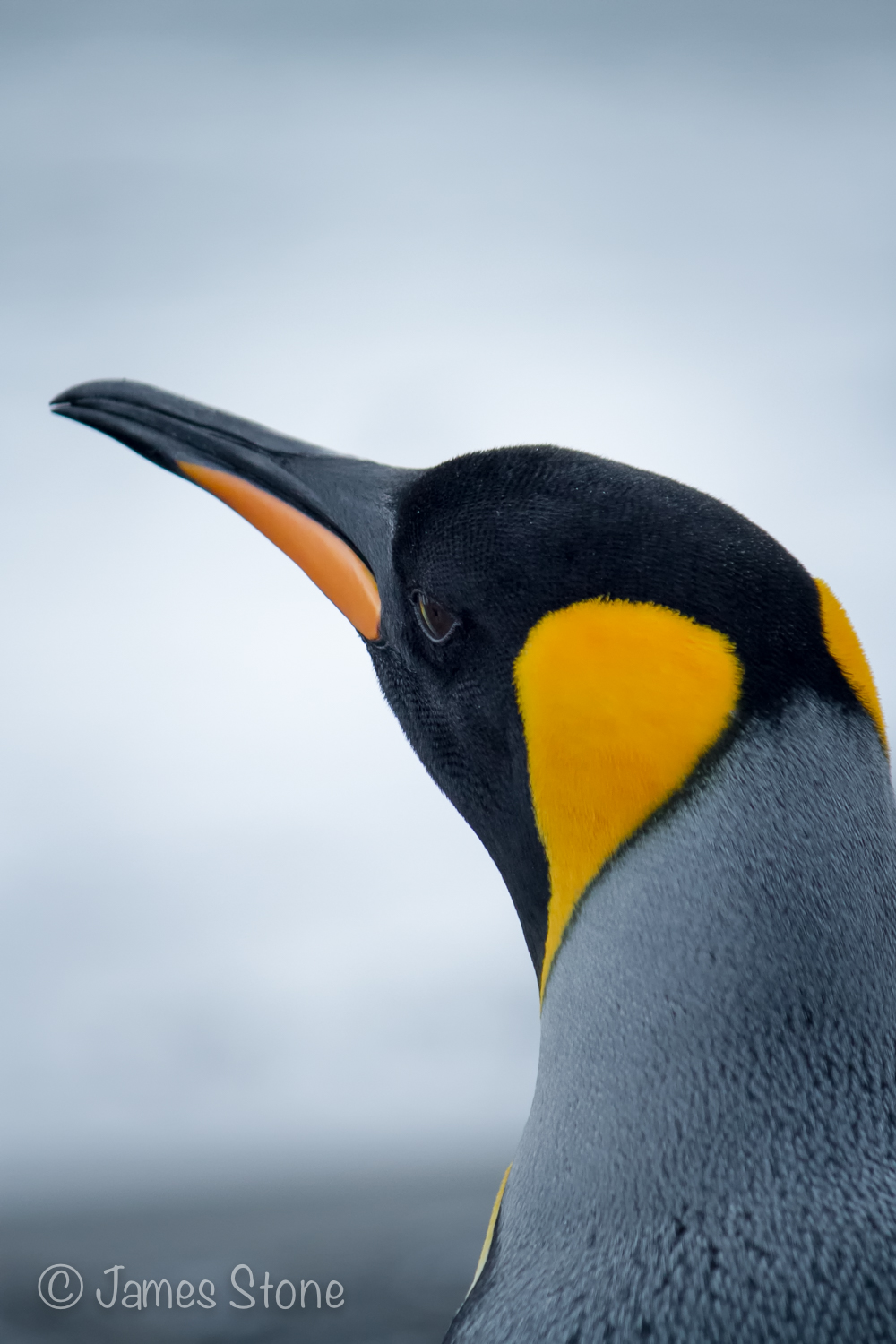 King Penguin5