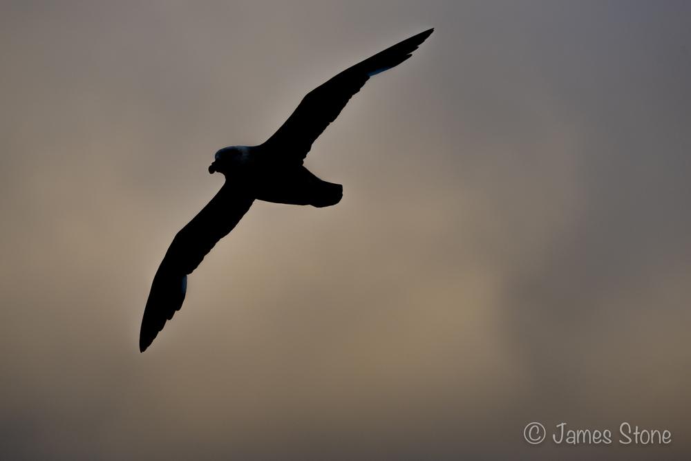 Fulmar silhouette