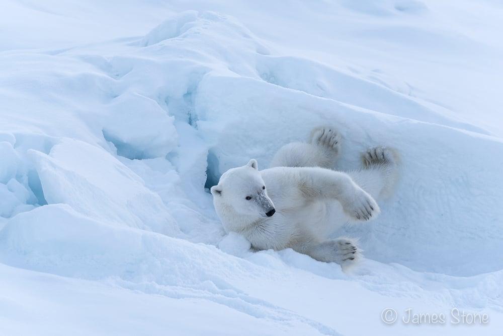Bear roll
