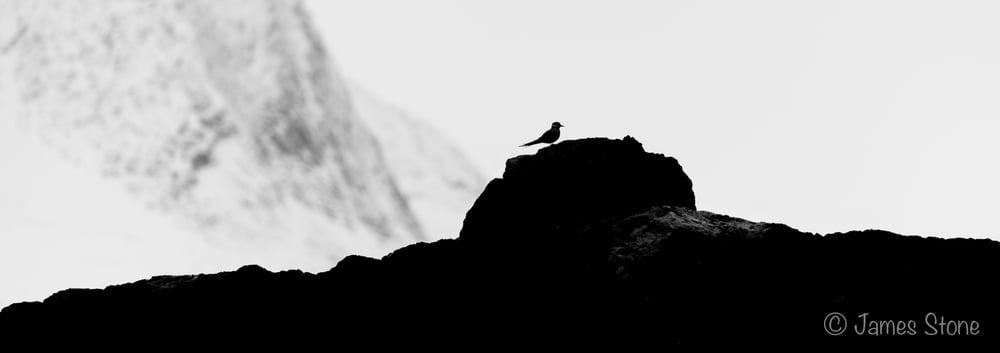 Arctic tern silhouette
