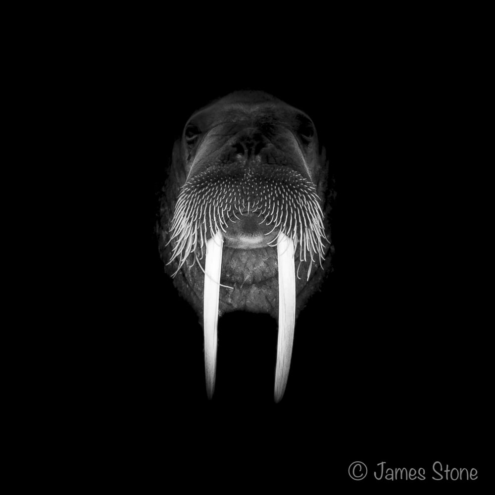 Walrus illumination