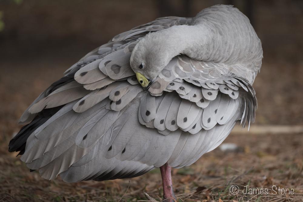 Cape Barren Goose2