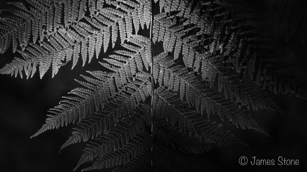 Fern Frond Illumination