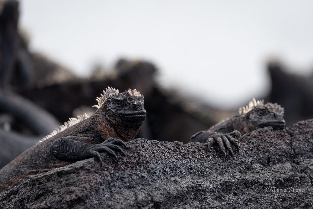 Marine Iguana Onlookers 1