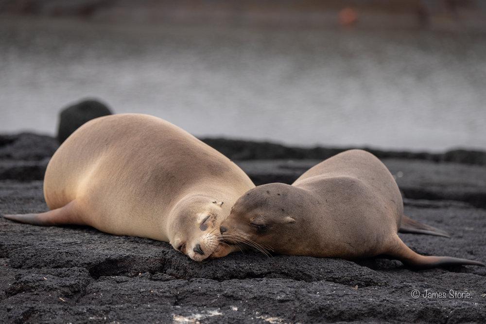 Maternal sea lion & pup