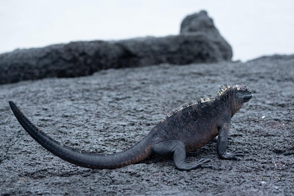 Marine Iguana standing to attention