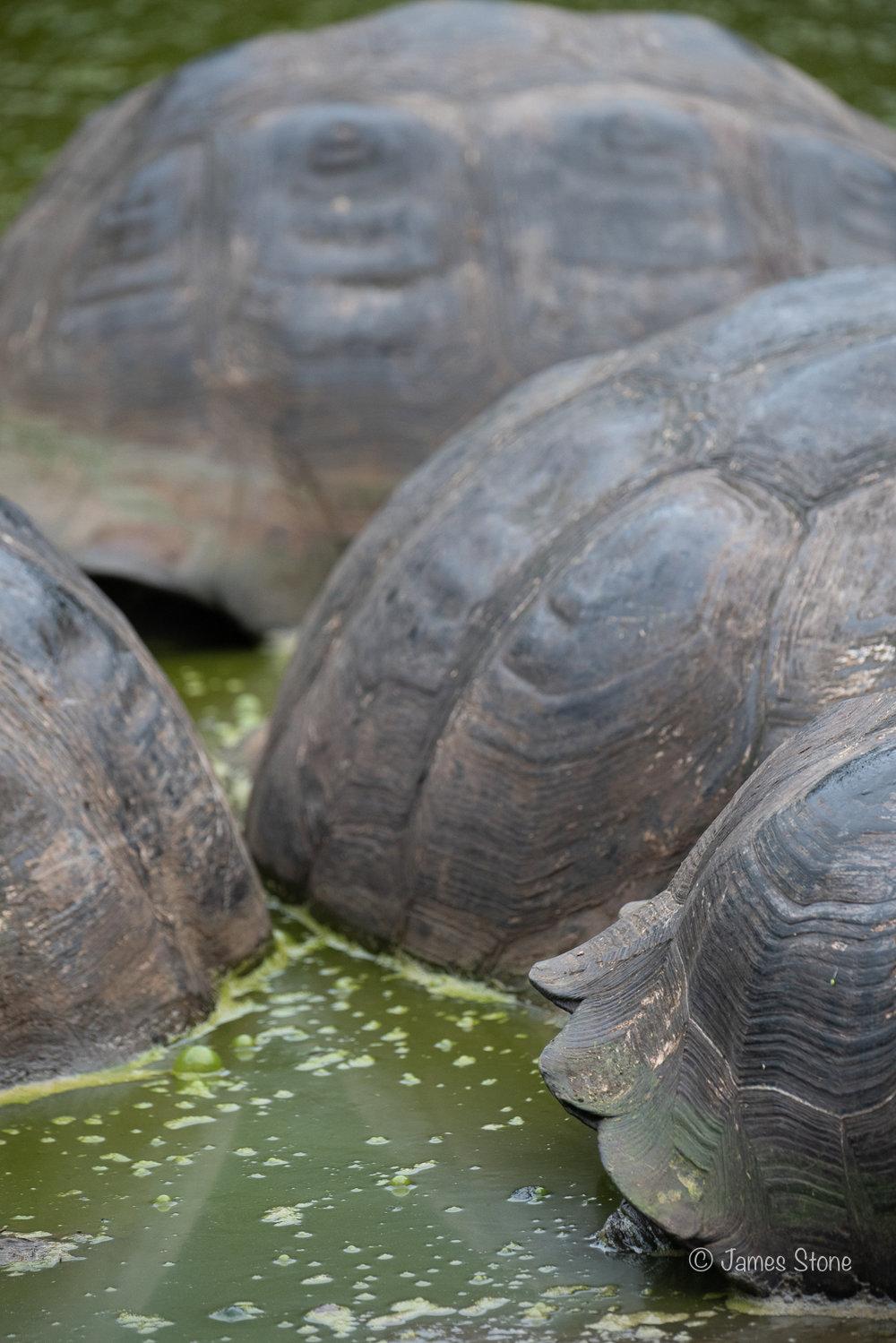 Tortoise Shell 2