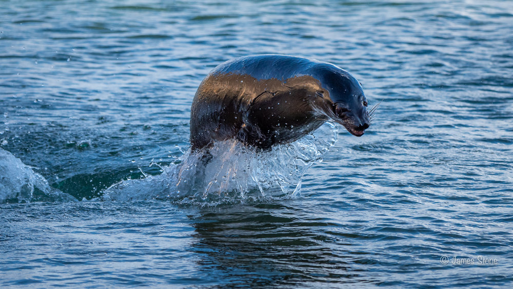 Sea lion leaping