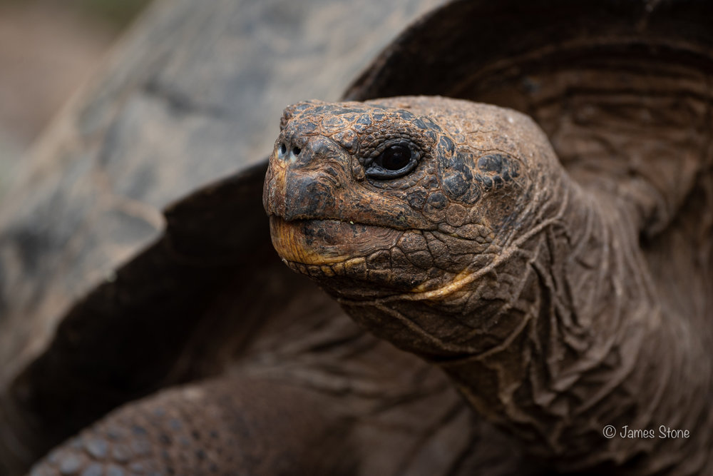 Giant tortoise 1