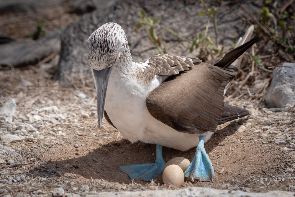Blue-footed Booby on nest