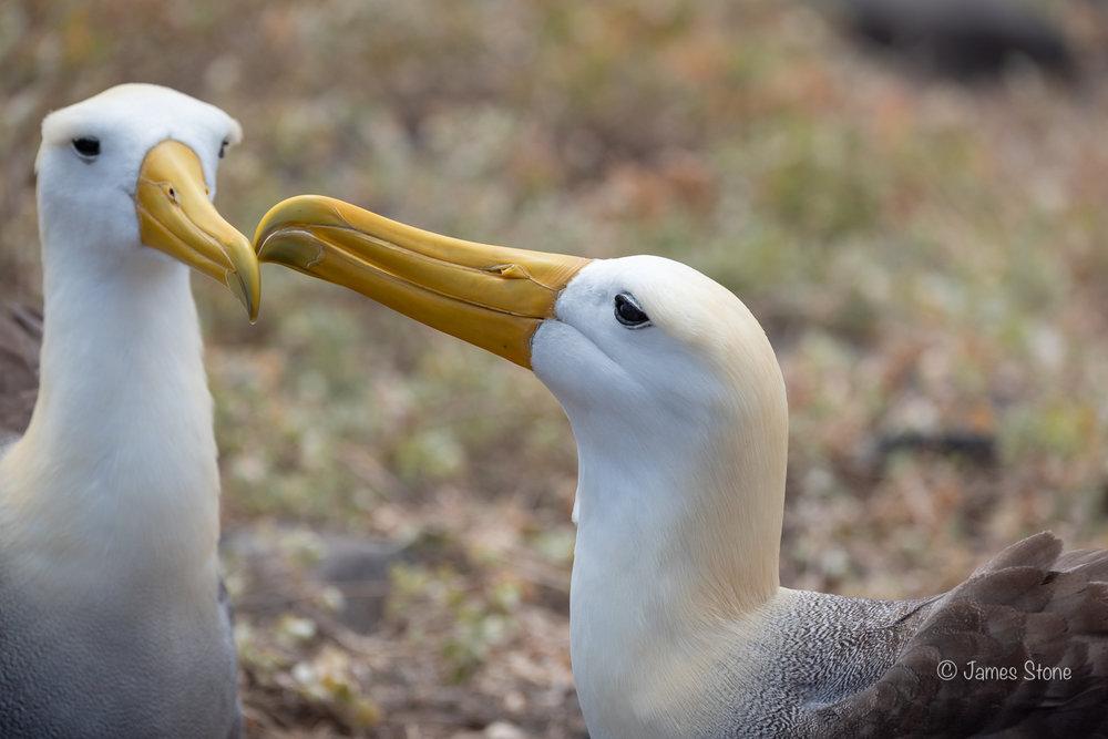 Waved Albatross Courtship 1