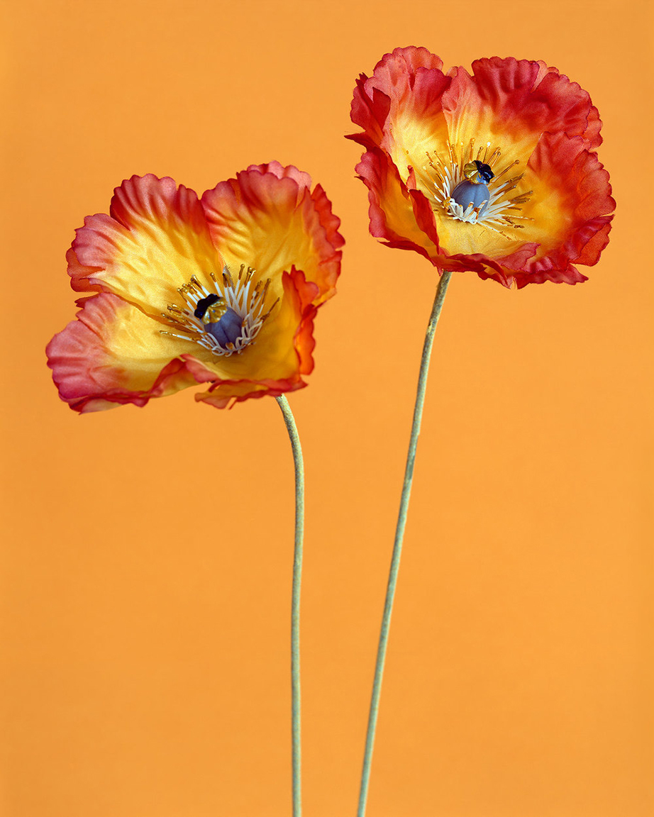 Poppies 2  (from  Botanicals  series),     2014  . 40   x 32   inches. Pigment print.