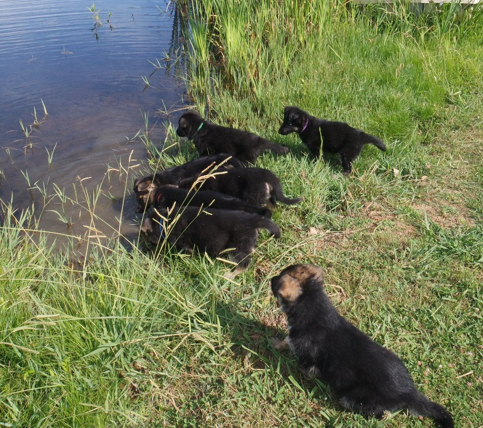 All puppies get introduced to our pond (and usually love it)
