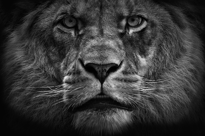 Lion Roaring Black And White Front View | www.pixshark.com ...
