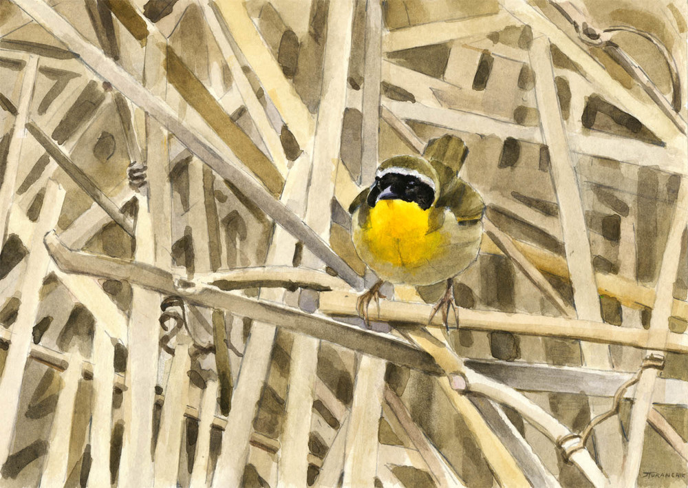 Now You See Me - Common Yellowthroat