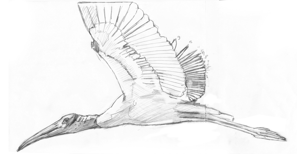 wood stork drawing.jpg