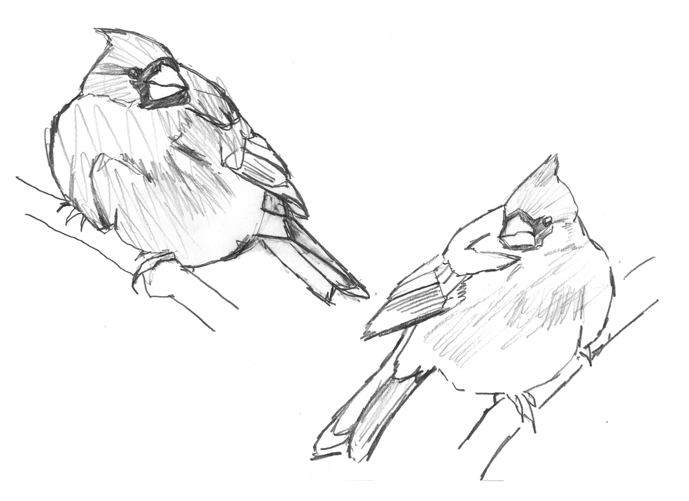 Male and female cardinal sketches