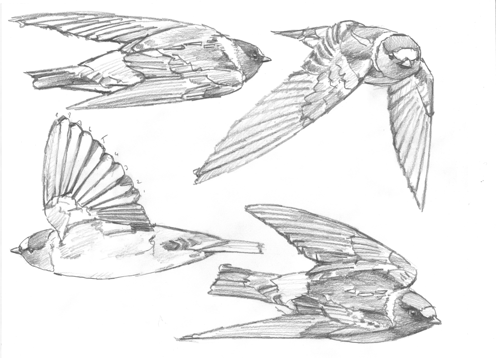 Cliff Swallows sketch 1.jpg