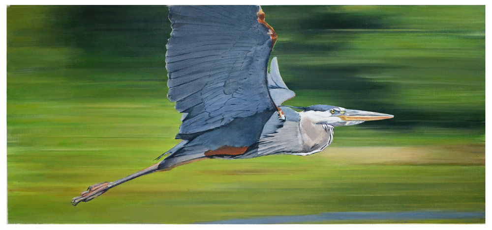 Bird in Flight - Great Blue Heron