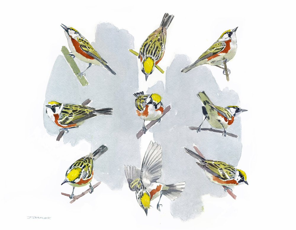 The Compleat Chestnut-sided Warbler