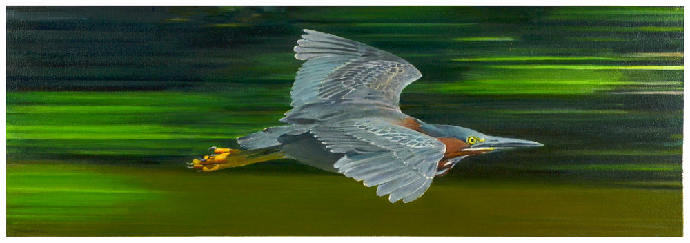 Bird in Flight - Green Heron