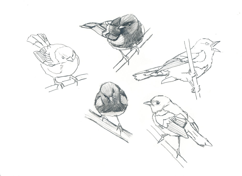 Redstart sketches.jpg